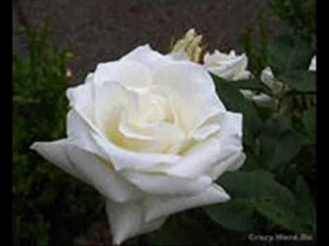 Песни из мультиков - Белые розы надежды