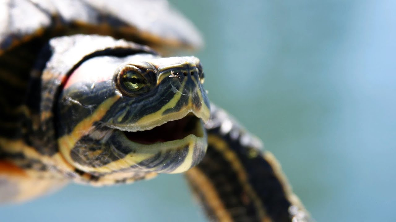 Whats a Red-Eared Slider? Pet Turtles - YouTube