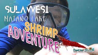 看我们如何野生抓印尼苏虾How We catch Sulawesi Shrimp At Matano Lake