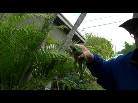FROZEN IGUANA,How to catch cold iguana s in south florida