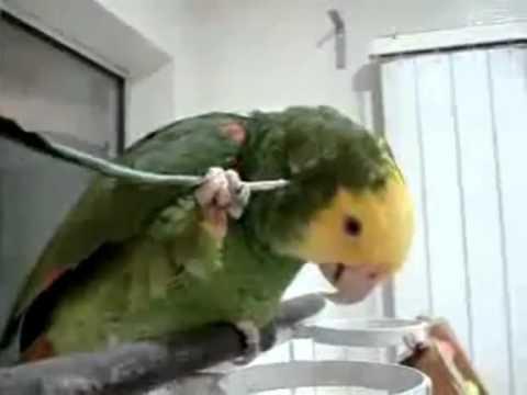 Сообразительный попугай  Умный попугай  Приколы про попугаев  Юмор