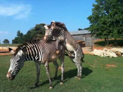 Frisky Zebras and more at the Lazy 5