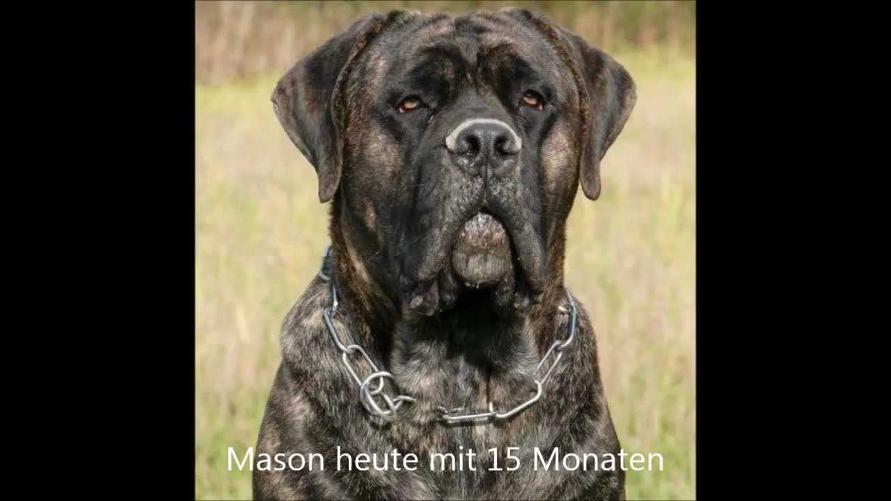 Cane Corso/Dogo Canario Mix Mason - YouTube