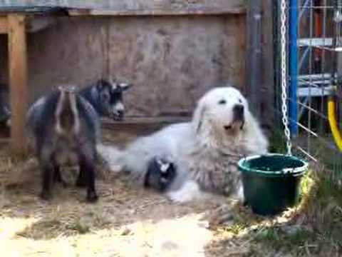 Newborn Pygmy goat kids meet BIG DOG - May  08