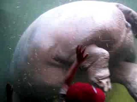 youtube hippo fart