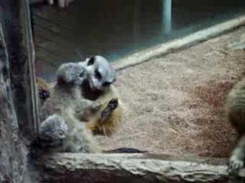 子守に奮闘のミーアキャット@上野動物園 meerkat UENO ZOO