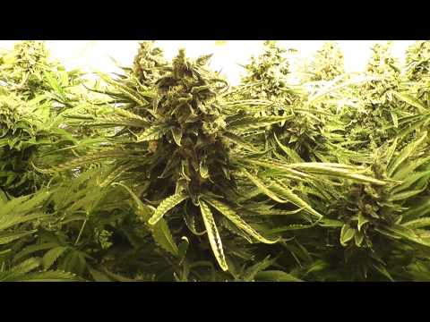 PART 8...3 DAY VEG!!...Blueberry Skunk. Aeroponic tent grow. Week 8 of flowering