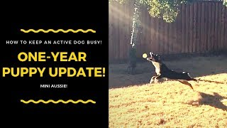 MINI AUSSIE PUPPY UPDATE | ONE YEAR | HOW TO KEEP AN ACTIVE DOG BUSY