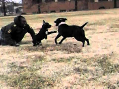 Dogs Attacking Other Dogs Dog Attacks Other Dogs in