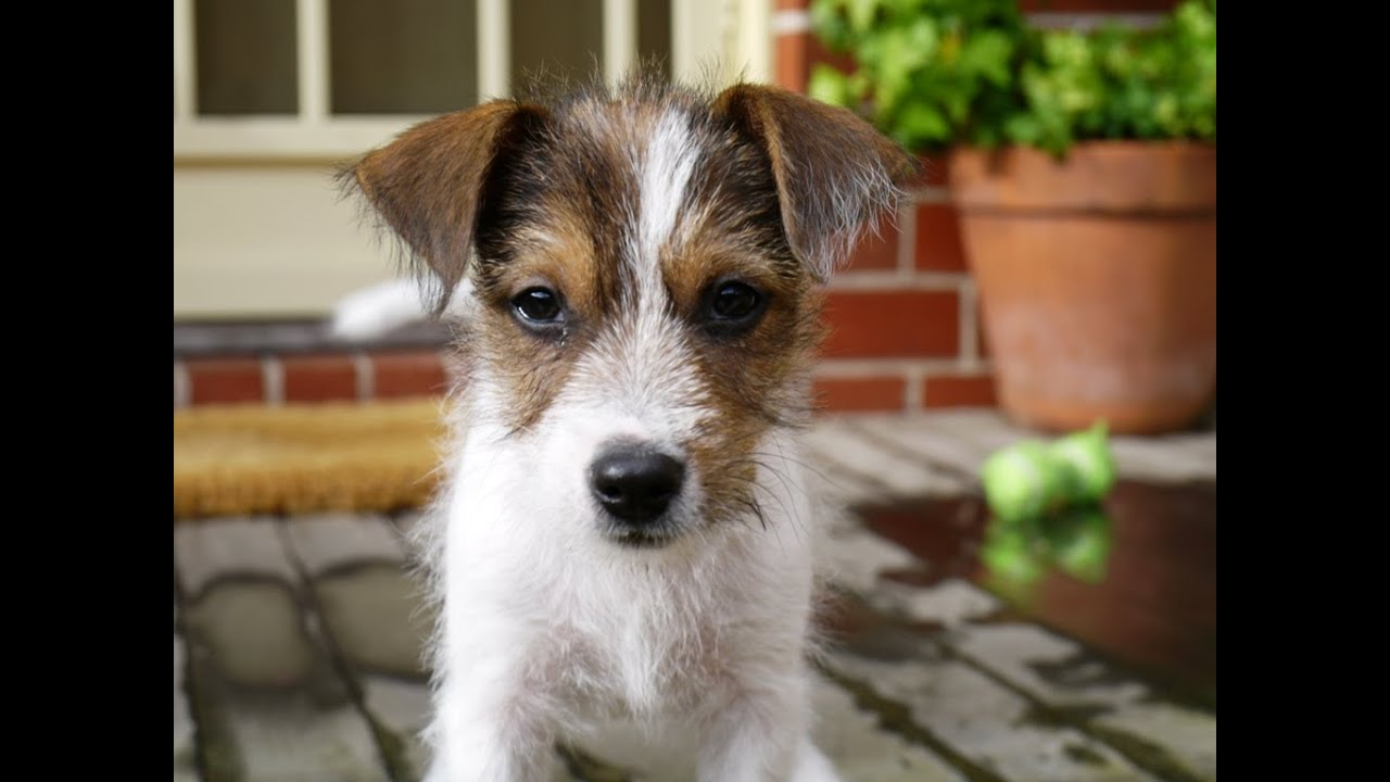 Cute Parson Jack Russell Puppy - YouTube