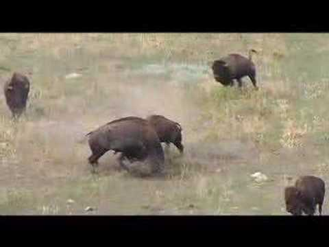 Wind Cave buffalo fighting Video