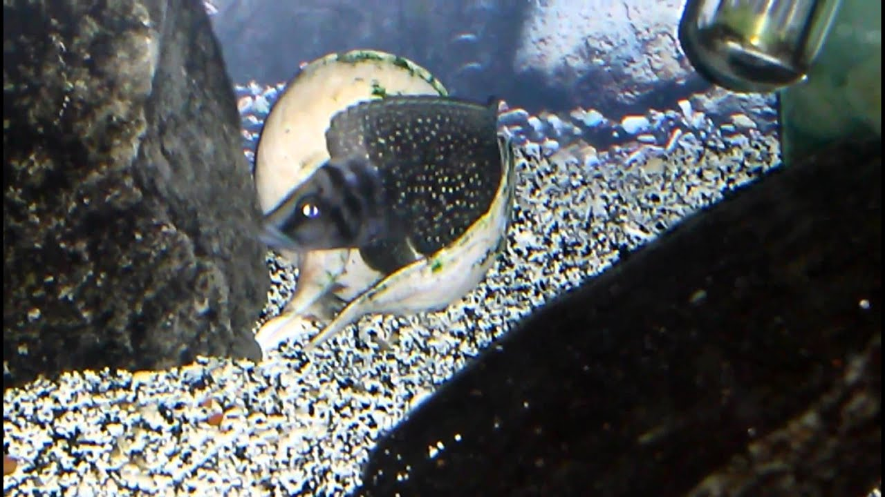 F1 Altolamprologus Calvus Black Ink Fin Wigglers Youtube