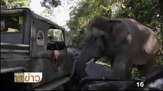 ช้างป่าประลองกำลังรถเจ้าหน้าที่อุทยานฯ เขาใหญ่