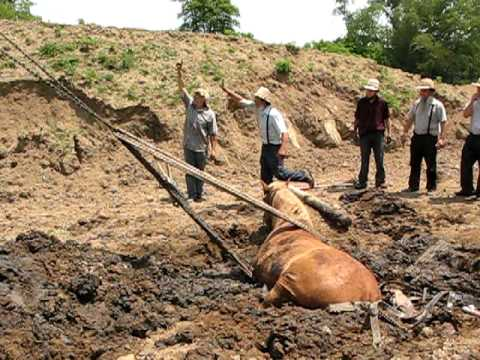 Draft Horse Stuck in Sink Hole