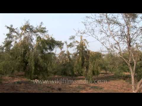 Ayurvedic medicine and herb fruit Amla or Indian Gooseberry orchard