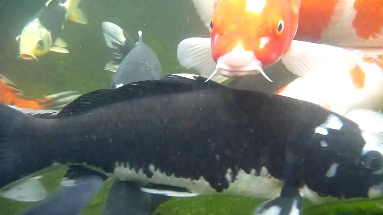 2 month baby koi pond n big koi youtube for Baby coy fish
