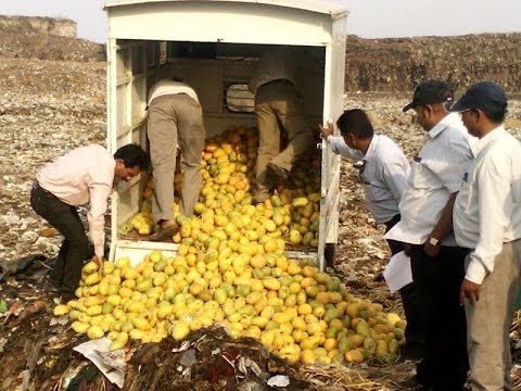 Artificially ripened mangoes being destroyed by PCMC & FDA