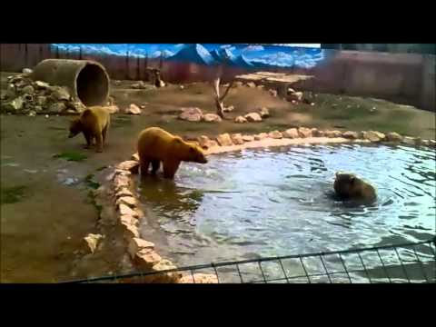 Angry Daddy Bear video