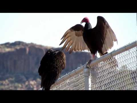 TURKEY VULTURE BIRDS ~ MORNING MEETING