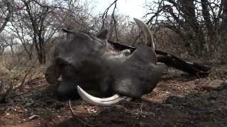 Keilerjagd in Afrika - Boars in the Dust - Sonne, Staub und starke Keiler    Teaser   YouTube 720p