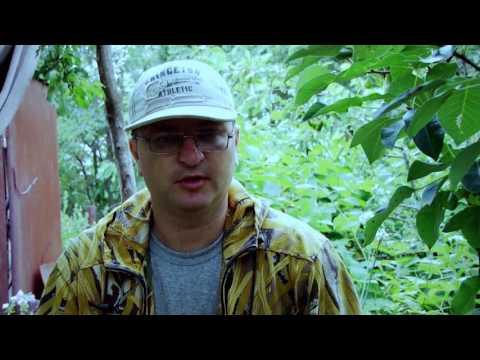 Как я делаю ловчие пояса на деревья от вредителей
