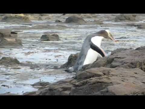 Yellow Eyed Penguins at Curio Bay - Petrified forest - NZ