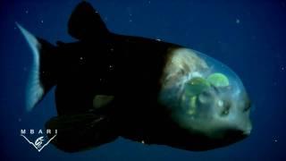Macropinna microstoma: A deep-sea fish with a transparent head and tubular eyes