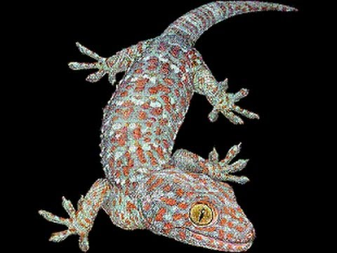 Tuko Lizard Philippines