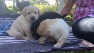 5-week-old Labrador puppies