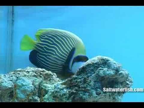 Emperor Angelfish - Adult : www.Saltwaterfish.com
