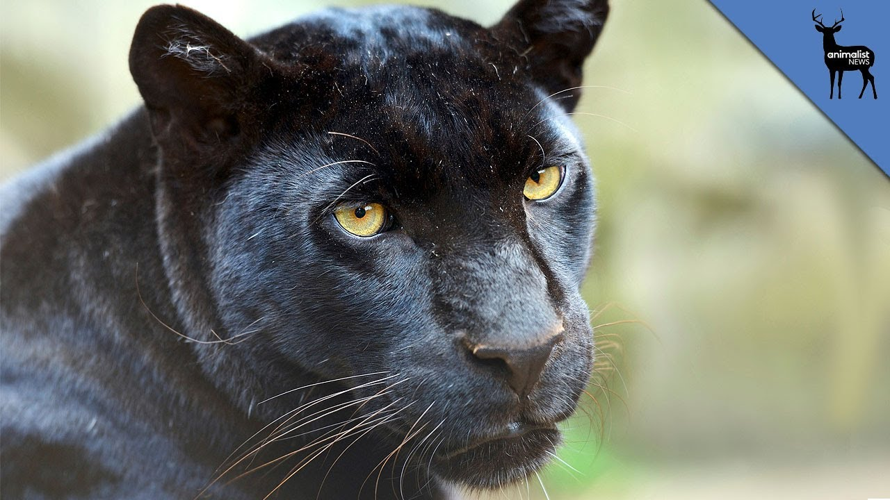 Facts About Black Panther Cats