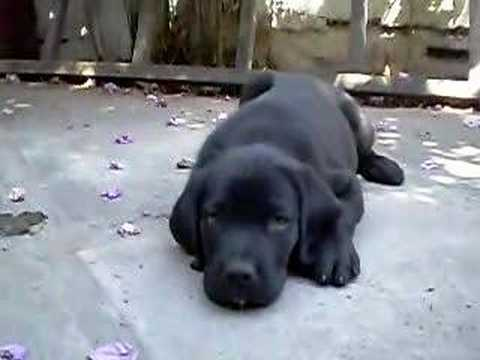 Lindo Cachorrito labrador negro Video