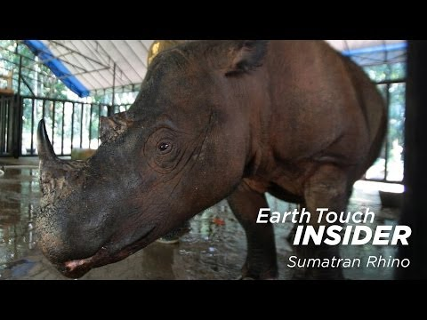 Earth Touch Insider: Is there hope for the Sumatran rhino?