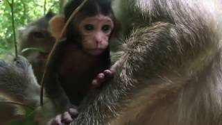 Poor Cute  Monkey Baby Crying When Big Separete Her From Her Mother ||  Daily Monkeys Man #23