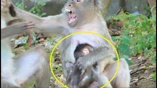 Best mom Kayoy slap young female monkey protect baby Kaya-Lovely Kaya learn walking Is Cutest Ever