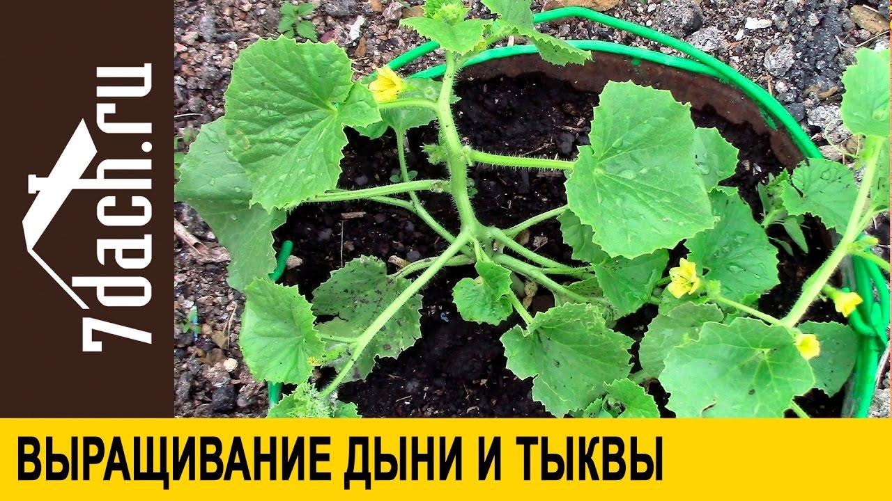 Выращивание тыквы прищипывание 81