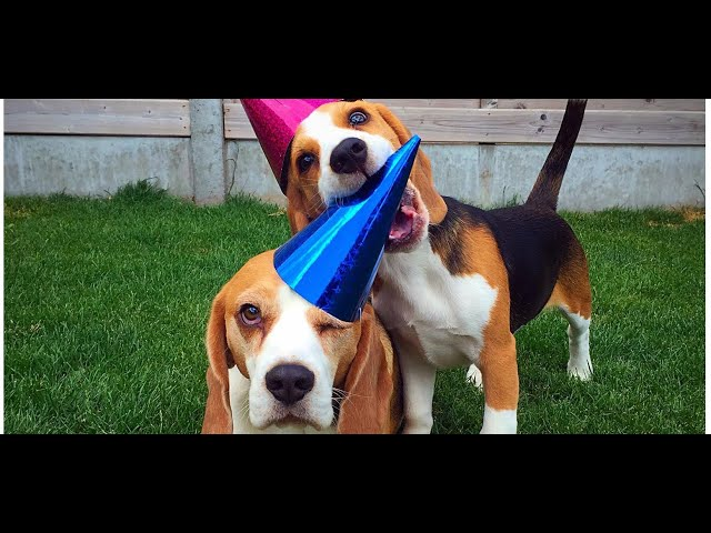 """Funny Dog Shaming Video starring  """"Louie The Beagle"""" Episode #1"""