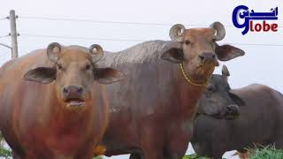 Buffalo Dacumentry | Unique Buffalo Breed Kundhi || Dosu Jat Love with Buffalo Breed |Banni Buffalo