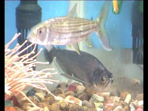 African Fishing Vampire Fish And African Tiger