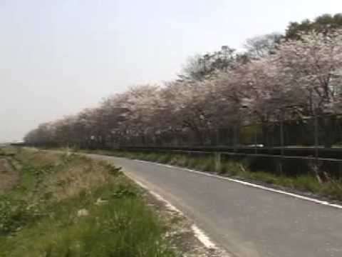 Cherry tree full bloom:桜満開 Jun Hashiba