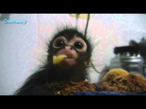 Маленькая обезьяна кушает.