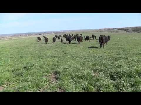 Spring Cattle Move 2013 -Part 2