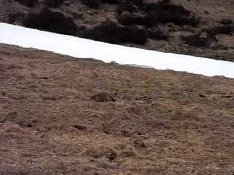 Marmotta in valle spluga
