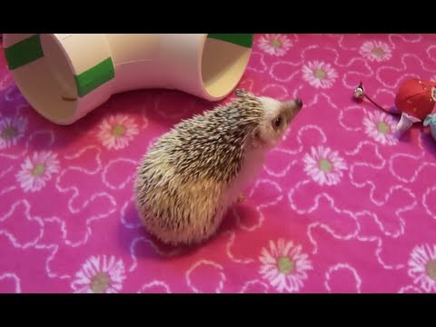Where to Get a Hedgehog