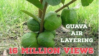 Guava tree air layering propagation with cocopeat