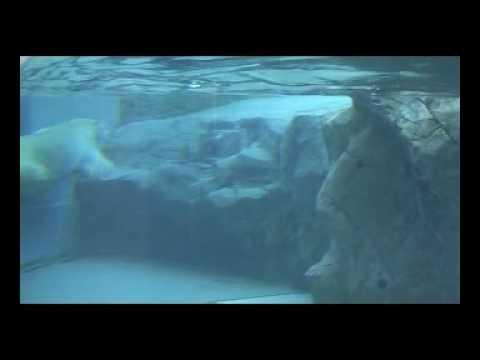 旭山動物園のホッキョクグマ!水に揺れる毛並の美しさ