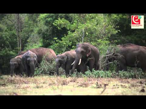 A disabled Asian Elephant (Young Tusker) at Galgmuwa, Sri Lanka. Unedited Stock footage.