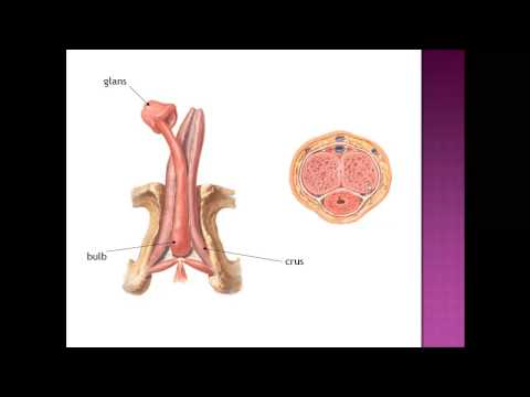 male genital system anatomy 3