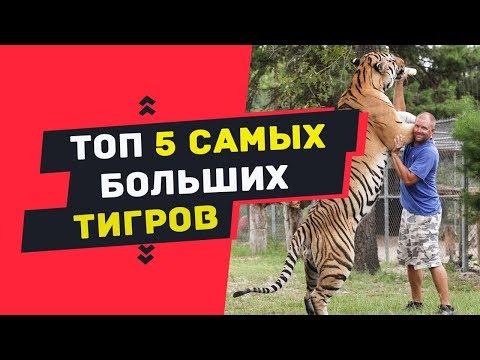ТОП 5 самые большие тигры в мире | ТОП 5 самых больших в мире тигров