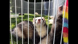 Ferret fun and games